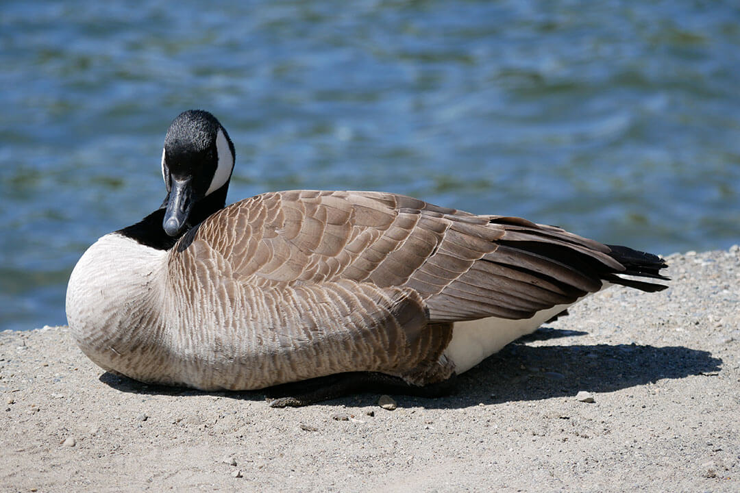Protect Your Property and the Lake from Geese
